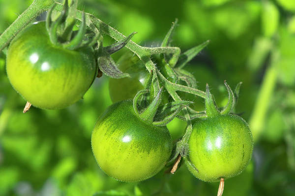 Photograph - Green Tomatoes On The Vine by Sharon Talson