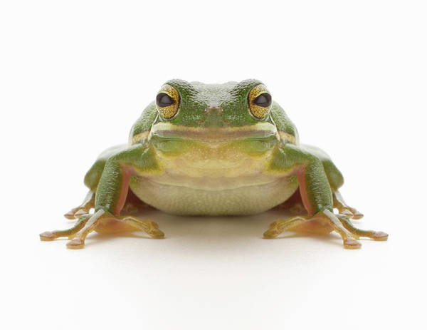 Staring Photograph - Green Tree Frog Hylidae Cinerea by Don Farrall
