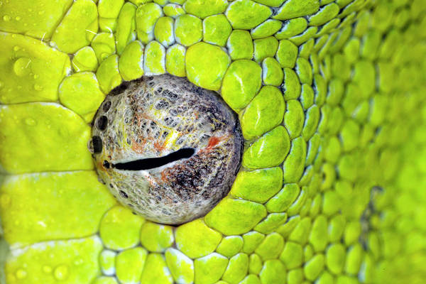 Wall Art - Photograph - Green Tree Python Eyeball, Morelia by Adam Jones
