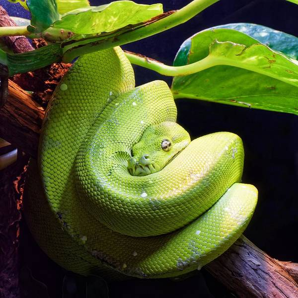 Photograph - Green Tree Python  by KJ Swan
