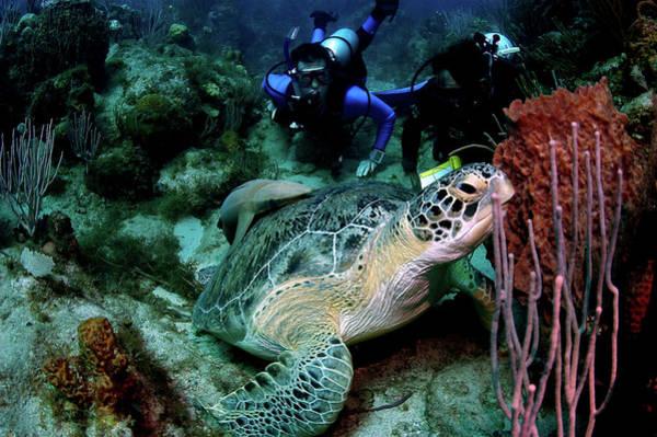 Scuba Diving Photograph - Green Turtle And Remora by Armando F. Jenik