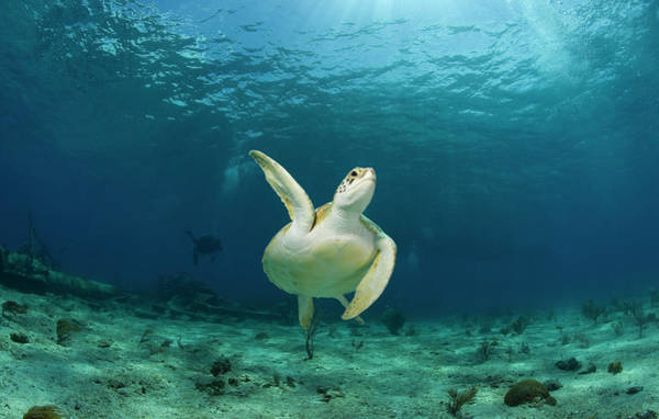 Wall Art - Photograph - Green Turtle Chelonia Mydas Swimming by Stephen Frink