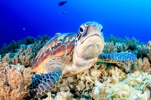 Wall Art - Photograph - Green Turtle On The Sea Bed by Richard Whitcombe