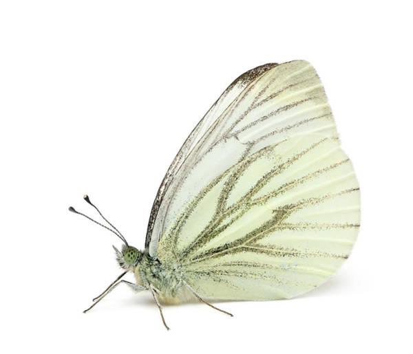 Belgium Photograph - Green-veined White - Pieris Napi by Life On White