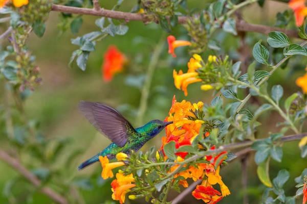 Wall Art - Photograph - Green Violet-ear Hummingbird by James Zipp