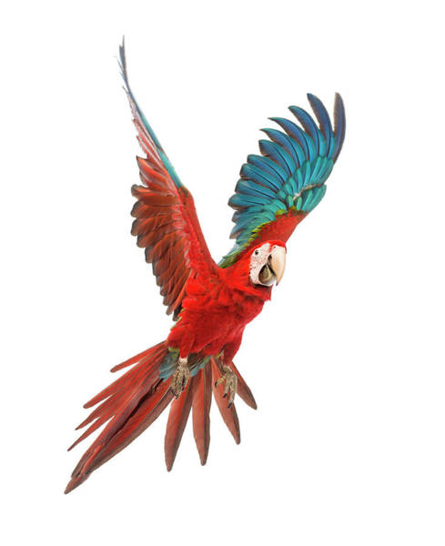 Macaw Photograph - Green-winged Macaw 1 Year Old Flying by Life On White