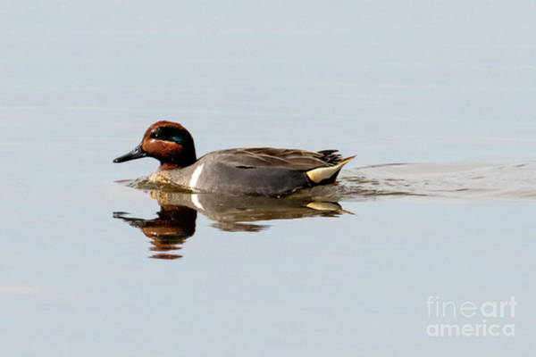 Drake Photograph - Green-winged Teal Drake by Mike Dawson