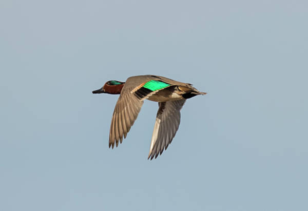 Photograph - Green Winged Teal In Flight by Loree Johnson