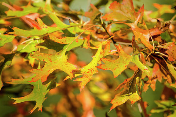Photograph - Green, Yellow And Red Oak Leaves by Frans Blok