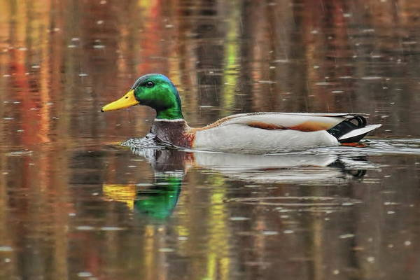Greenhead Photograph - Greenhead Mallard In The Rain by Dale Kauzlaric