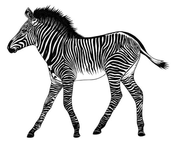 African Animal Drawing - Grevy's Zebra Foal by Loren Dowding