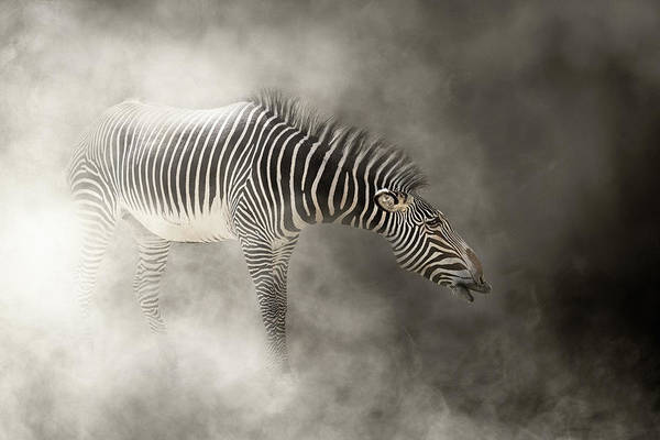 Wall Art - Photograph - Grevy's Zebra In The Dust by Susan Schmitz
