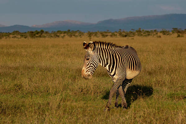 Photograph - Grevy's Zebra by Thomas Kallmeyer