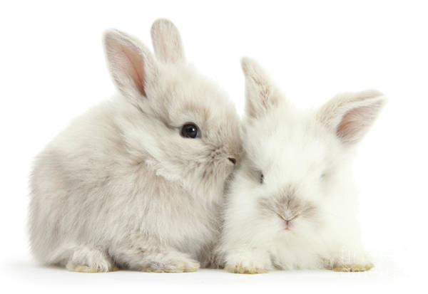 Photograph - Grey And White Love Bunnies by Warren Photographic