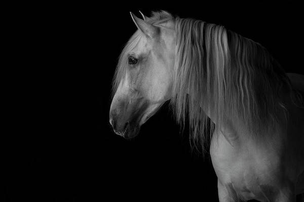 Andalusian Stallion Wall Art - Photograph - Grey Andalusian Stallion In Dark Barn, France by Carol Walker / Naturepl.com