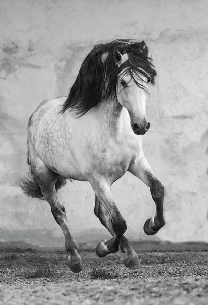 Andalusian Stallion Wall Art - Photograph - Grey Andalusian Stallion, Northern France, Europe by Carol Walker / Naturepl.com