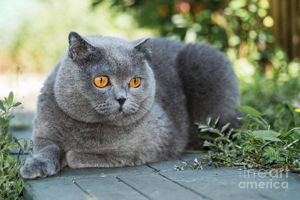 Home Field Photograph - Grey British Cat Lying In The Green by Anton Papulov