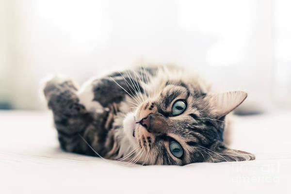 Wall Art - Photograph - Grey Cat Lying On Bed by Valeri Potapova
