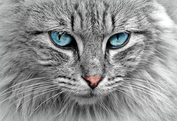 Photograph - Grey Cat With Blue Eyes by Top Wallpapers
