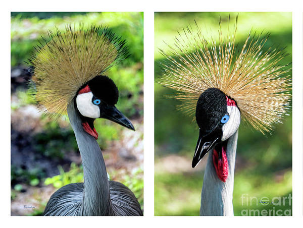 Photograph - Grey Crowned Crane Gulf Shores Al Collage 3 Diptych by Ricardos Creations