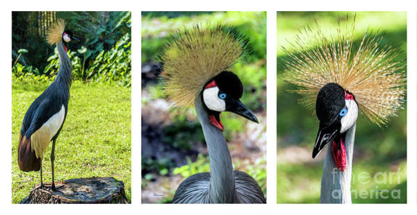 Photograph - Grey Crowned Crane Gulf Shores Al Collage 4 Triptych by Ricardos Creations