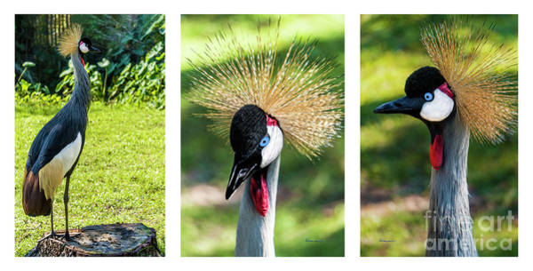 Photograph - Grey Crowned Crane Gulf Shores Al Collage 5 Triptych by Ricardos Creations
