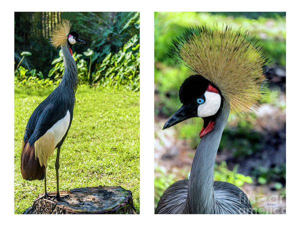 Photograph - Grey Crowned Crane Gulf Shores Al Collage 9 Diptych by Ricardos Creations