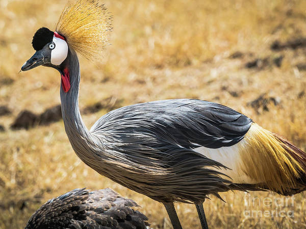 Photograph - Grey Crowned Crane by Robin Zygelman