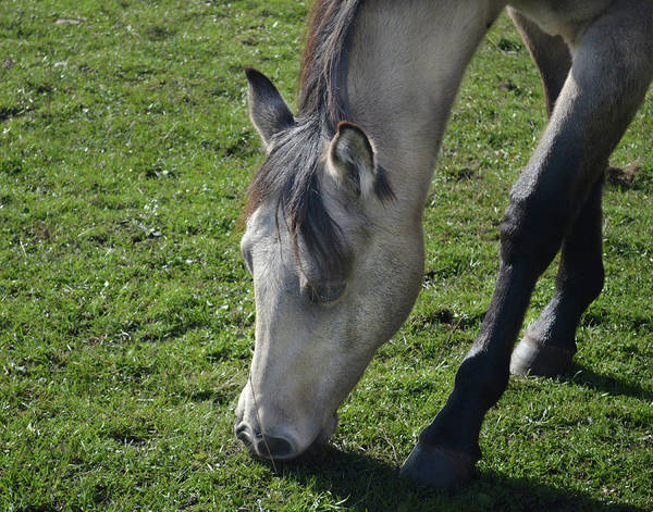 Photograph - Grey Filly Grazing  by Maggy Marsh