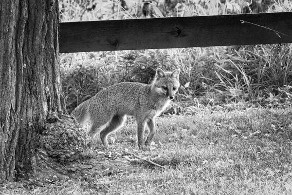 Photograph - Grey Fox By A Tree by Dan Friend
