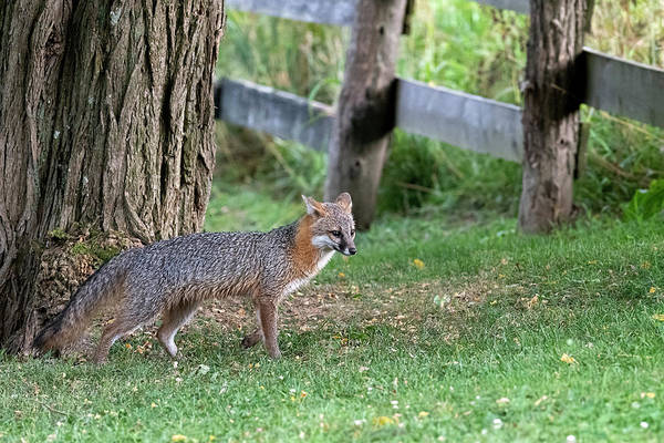 Photograph - Grey Fox By Tree by Dan Friend