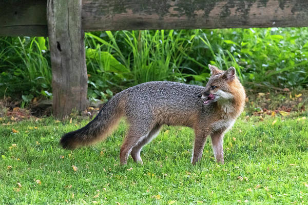 Photograph - Grey Fox Licking His Chops And Looking Back by Dan Friend