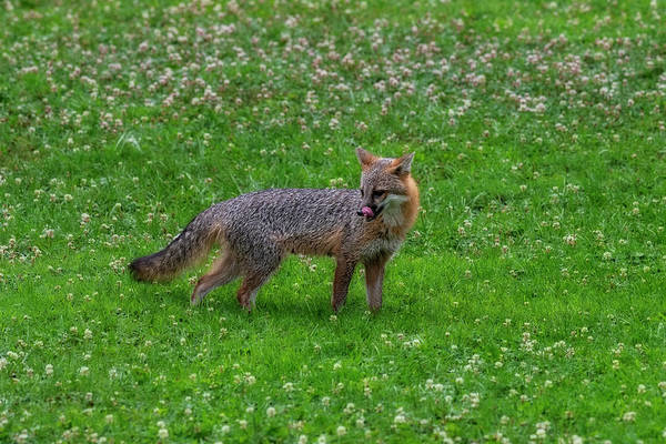 Photograph - Grey Fox Licking His Mouth by Dan Friend