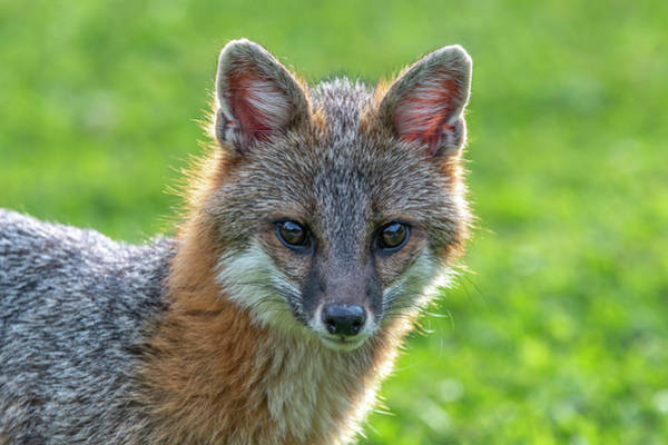 Photograph - Grey Fox Looking Intent by Dan Friend