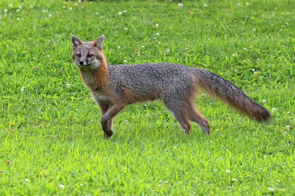 Photograph - Grey Fox Peering Over The Landscape  by Dan Friend