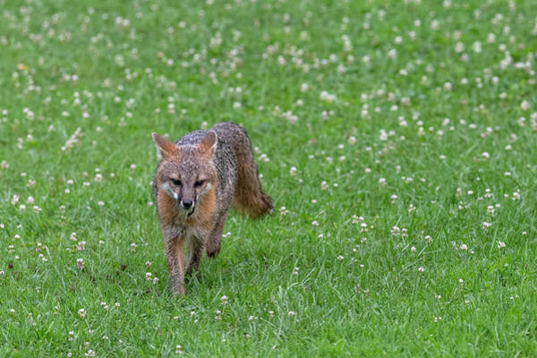 Photograph - Grey Fox Running Forward In Clover Field by Dan Friend