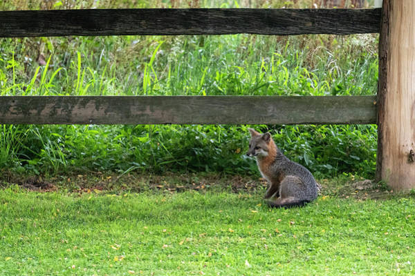 Photograph - Grey Fox Sitting By Fence Near Farm by Dan Friend