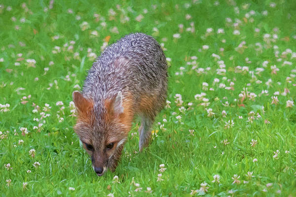 Photograph - Grey Fox Sniffing Around For Food by Dan Friend