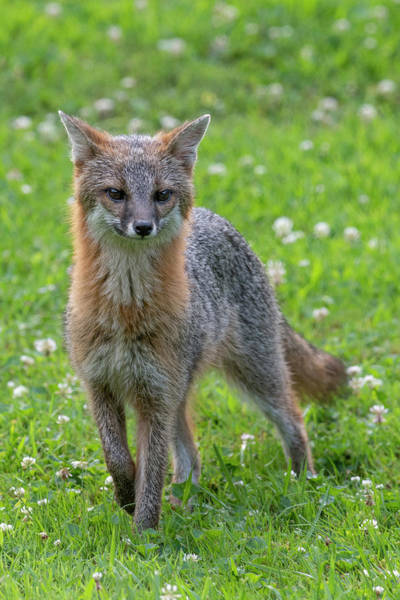 Photograph - Grey Fox Staring Straight Ahead by Dan Friend