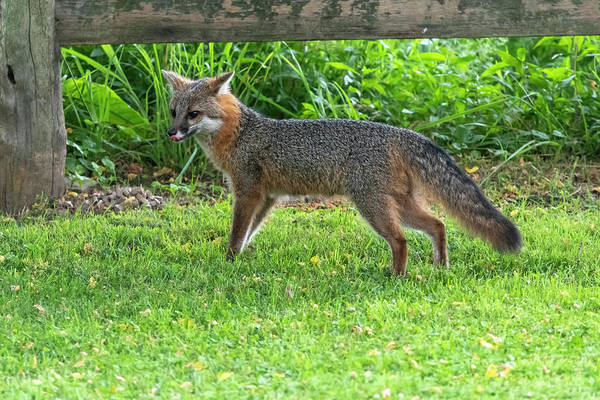 Photograph - Grey Fox With Tongue Out By Fence by Dan Friend
