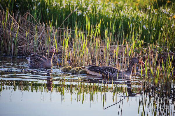 Photograph - Grey Geese Family by Eva Lechner