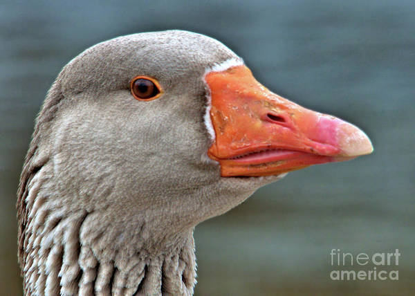Photograph - Grey Goose by Debbie Stahre