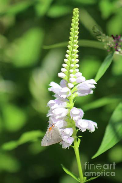 Photograph - Grey Hairstreak Butterfly On Obedient Flower by Karen Adams