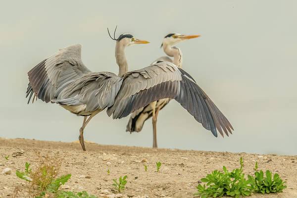 Wall Art - Photograph - Grey Heron Pair by Morris Finkelstein