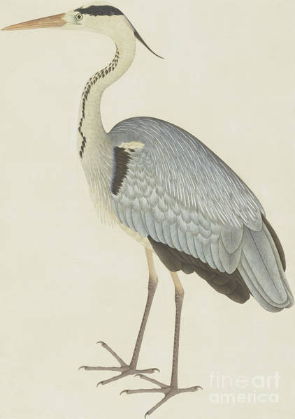 Wall Art - Painting - Grey Heron by Sheikh Zainuddin
