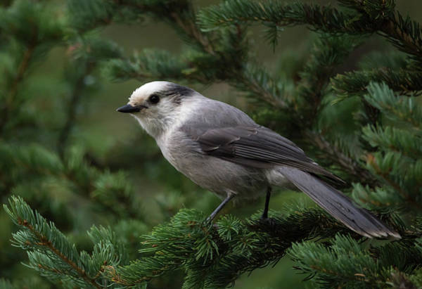 Photograph - Grey Jay by Michael Chatt