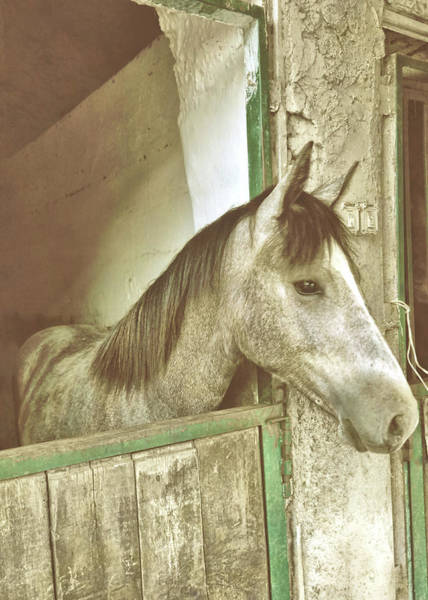 Photograph - Grey Piccolo Pony by JAMART Photography