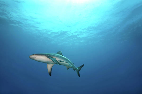 Underwater Photograph - Grey Reef Shark by James R.d. Scott
