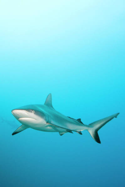 Wall Art - Photograph - Grey Reef Shark by Michele Westmorland
