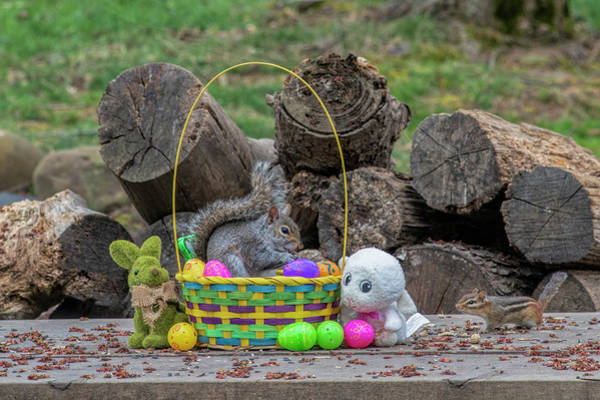 Photograph - Grey Squirrel In Easter Basket Eating by Dan Friend